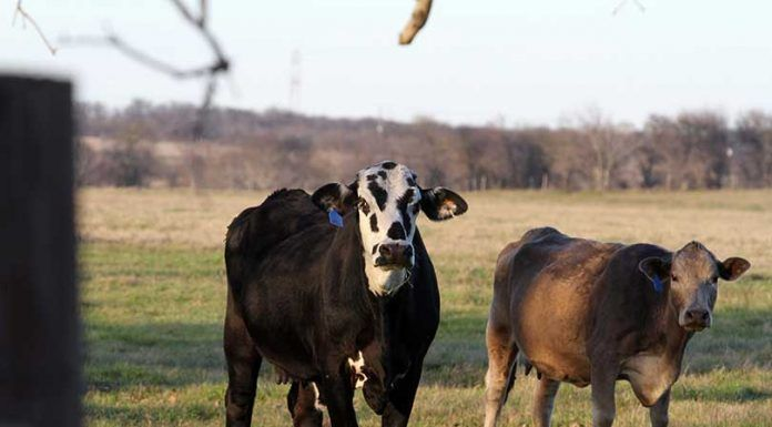 Cattle operations