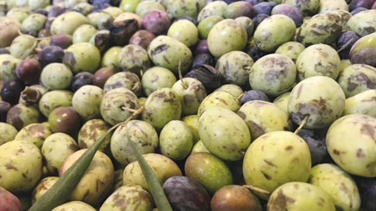 Rio Bravo Ranch – Organic, Award-Winning Olive Oil … Locally Grown