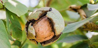 walnut on tree
