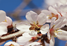 bees pollinating almond tree flowers