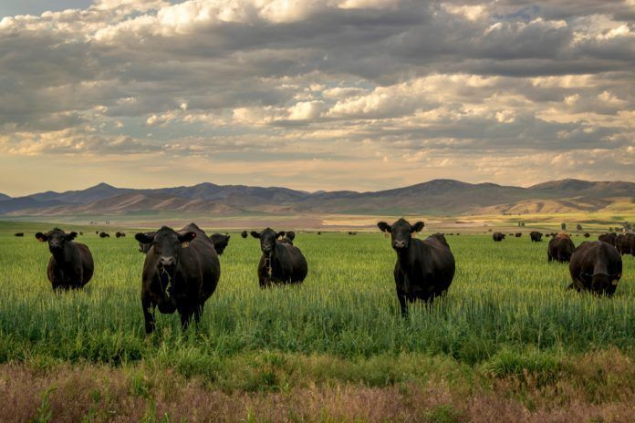 black angus cattle on ranch