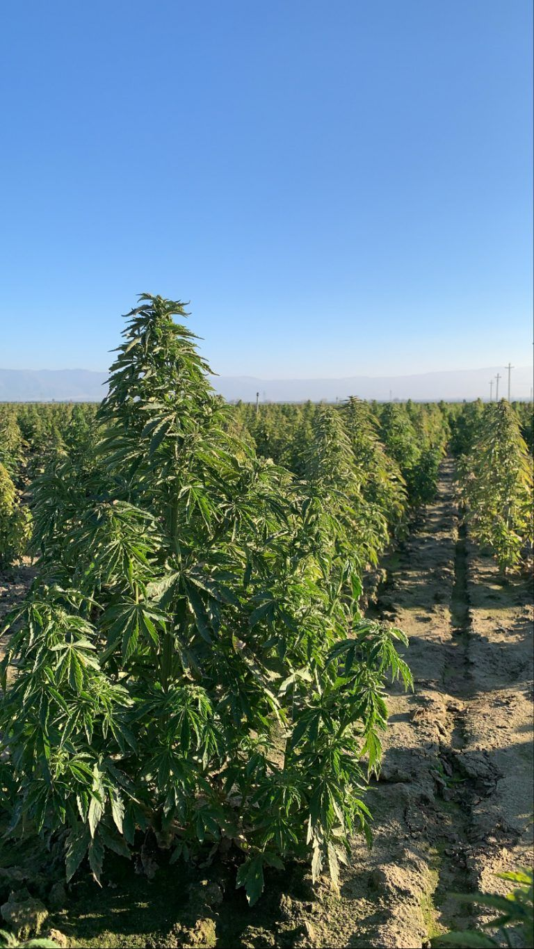 Hemp Farmers Facing Uphill Battle in Sourcing Quality Seed, Transplant Stock