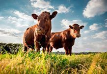 Beefmaster cattle grazing in a green field. (Photo by Cameron Watson / Shutterstock.com)