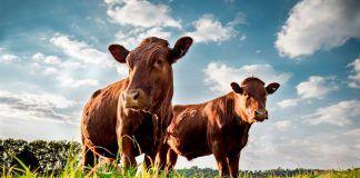 Beefmaster cattle grazing in a green field. (Photo by Cameron Watson / Shutterstock.com)