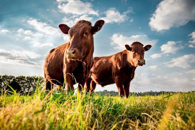 USCA Statement on Efforts to Restore U.S. Cattle Markets