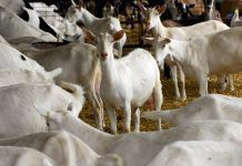 Herd of purebred Saanen and Nubian goats in a dairy barn. (Photo by WilleeCole Photography / Shutterstock.com)