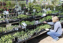 Julia Oldfield, co-owner of Big Oak Nursery in Elk Grove, tends to a display of tomato plants. Oldfield and other nursery operators report a jump in sales of vegetable plants and fruit trees. (Photo by Kevin Hecteman)