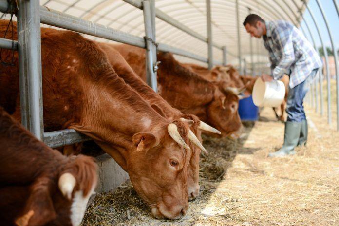 Farmer in a livestock small breeding husbandry farming production taking care of cattle