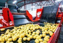 Potato sorting, processing and packing factory. Photo By 279photo Studio