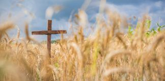 A wooden cross posted in a wheat crop, beside a cornfield