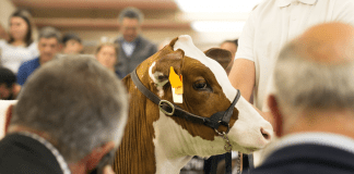 Cattle at auction