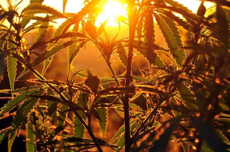 City of Arvin Continues Progressive Cannabis Policies with Industrial Hemp Ordinance