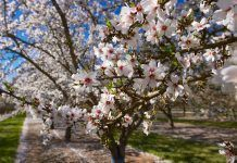 almond orchard blossoms