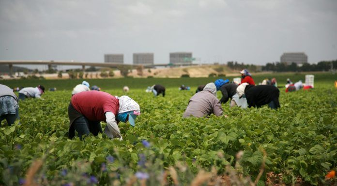 farmworkers in a field