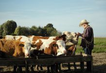 rancher feeding cattle