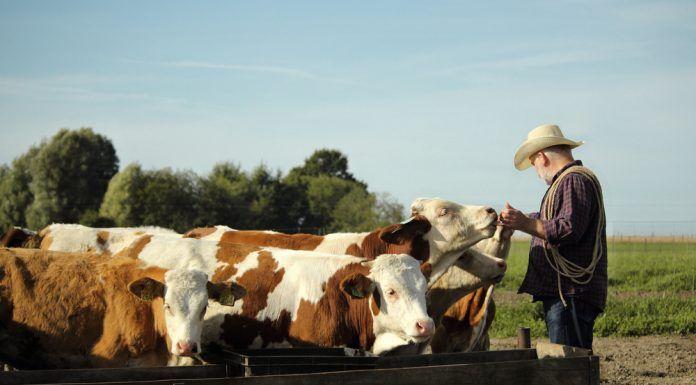 rancher feeding cattle