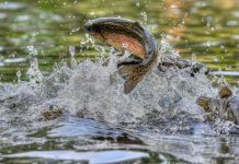 trout breaching water