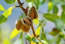 ripe almonds on tree
