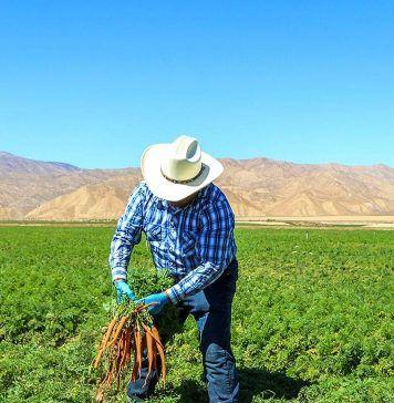 farmer pulling carrots in field