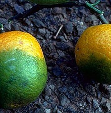 Oranges afflicted with Citrus Greening Disease