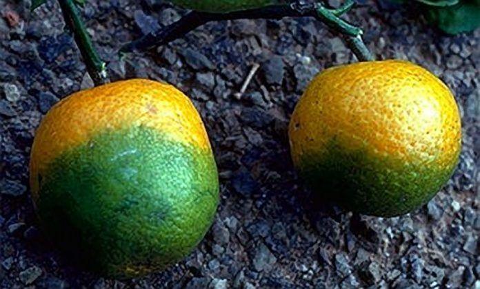 Oranges afflicted with Citrus Greening Disease