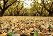 almonds on ground