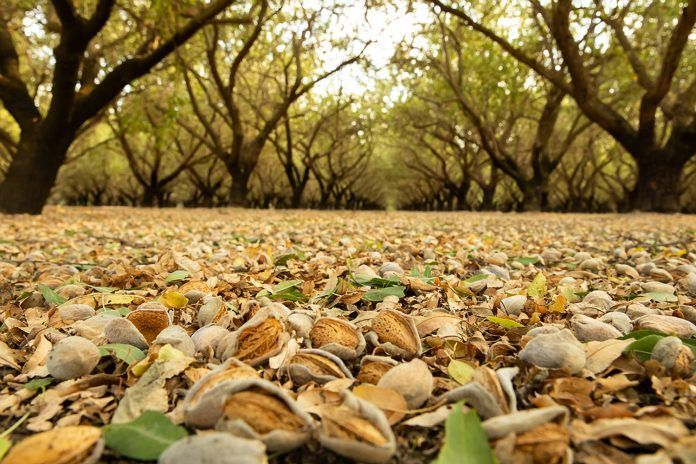 almonds on ground