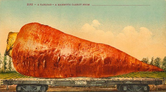 vintage carrot postcard