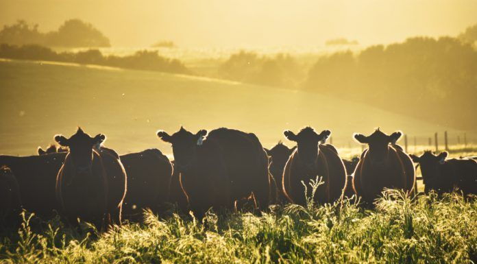 Silhouettes of cows in a sunny summer evening against mountains in a field with long grass