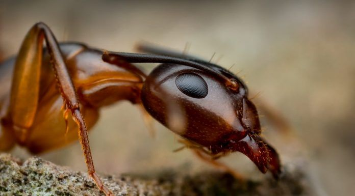 Argentine ant Linepithema Humile