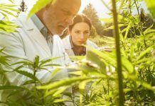 Researchers working in a hemp field