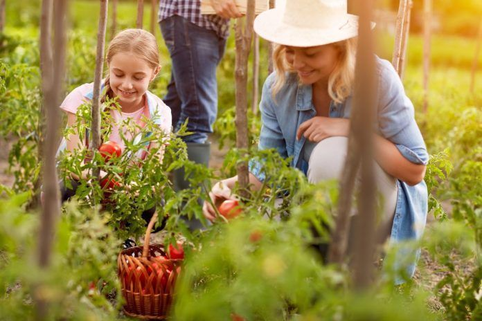 A happy family excitedly picks organically-grown tomatoes from a rural garden