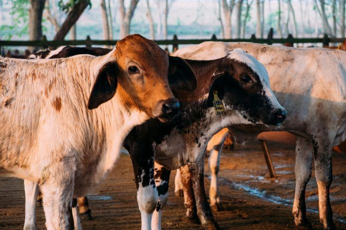 Close up of a couple of cattle on a Mexican farm