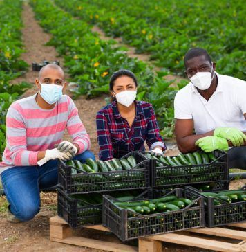Portrait of successful international team of farmers wearing medical face masks to prevent COVID 19 infection posing near boxes with freshly picked zucchini during harvest.
