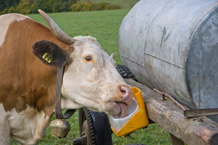 Salt lick on the water barrel, the cow enjoys this special treat