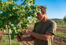 worker in pistachio field