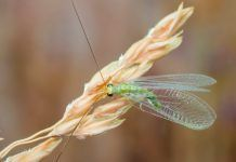 Green lacewing Chrysopidae