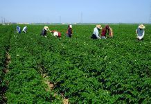 Mexican-American farm workers are hoeing between rows of potatoes on this large Central California farm.