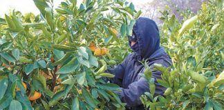 man picking mandarin oranges