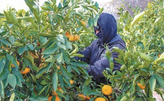 man picking mandarin oranges