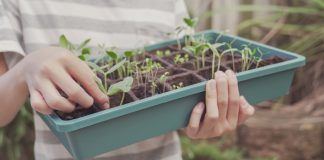 preteen boy hands holding seedling tray, edible garden,vegetable gardening, fun outdoor activity, sustainable living, social distancing , montessori