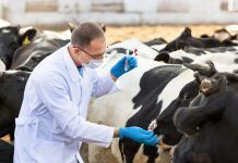 man in medical gown takes samples of biological material in cows