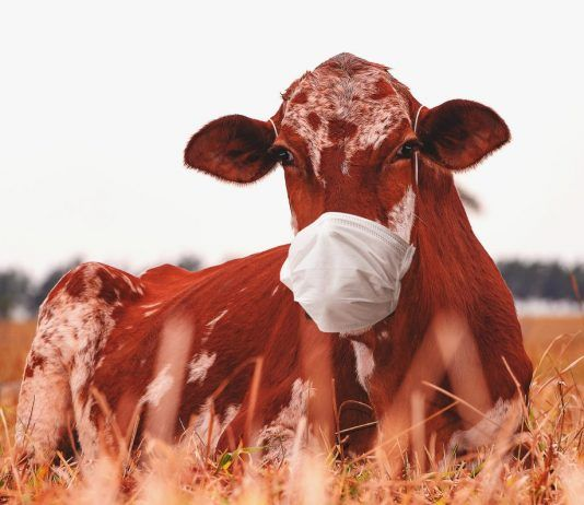 cow wearing mask