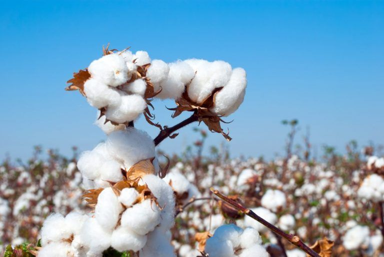 Cotton Acreage Projected to be Down 25%