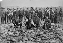 An early rabbit roundup in the Buttonwillow area in the 1930's