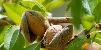 Ripe almonds on tree ready to harvest