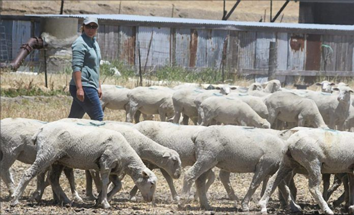 rancher tending grazing sheep