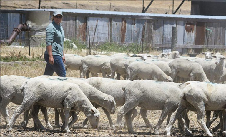 Sheep Ranchers Face Drought, Wage Issue