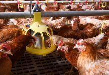 Farm chicken in a barn, eating from an automatic feeder