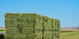 hay in a field